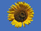 Golden Isolated Sunflower — Stock Photo