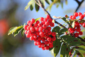 Red berries and green leaves — Stock Photo
