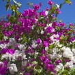 Crete flowers — Stock Photo