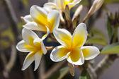 Crete flowers — Stock Photo
