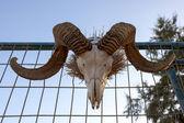 Big Horn Sheep Skull — Stock Photo