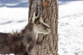 Chamois in the National Park, Aosta — Stock Photo