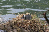 A coot in the nest — Stock Photo