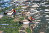 Red-crested turkish (pochard) — Stock Photo