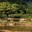 Stock Photo: Tree on white water terrace in baishuitai