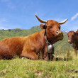 French Saler cows — Stock Photo #13944980