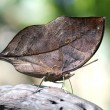 Stock Photo: Kallimbutterfly