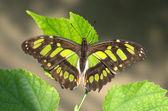 Malachite butterfly — Stock Photo