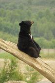 Funny black bear — Stock Photo