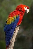 緋色のコンゴウインコ — ストック写真