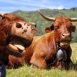 Stock Photo: Funny cows