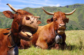 Funny cows — Stock Photo