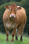 French cow — Stock Photo