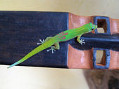 Day Gecko — Stock Photo