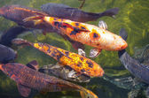 Koi carps — Stock Photo