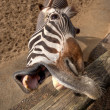 Stock Photo: Funny Zebra