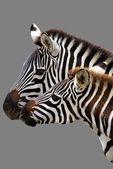 Famiglia zebra — Foto Stock
