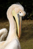 Pelican portrait — Stock Photo