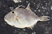 Dead trigger fish — Stock Photo