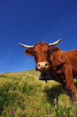 Francés vaca salers — Foto de Stock