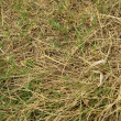 Stick insect camouflaged in grass - Stock Photo