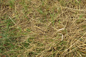 Stick insect camouflaged in grass — Stock Photo