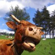Funny cow, rural scene — Stock Photo