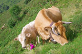 Calf and cow — Stock Photo
