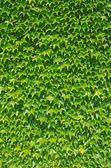 Ivy wall — Stock Photo