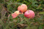 Fallen red apples in autumn grass — Stock Photo