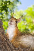 Red Squirrel sitting on a tree trunk — Stock Photo