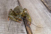 Live green crayfish — Stock Photo
