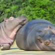 Happy hippopotamus friends — Stock Photo