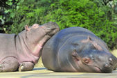 Happy hippopotamus friends — Stok fotoğraf