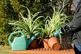 Fixing spider plants — Stock Photo