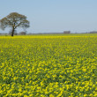 Solitaire tree at rapeseed field — Stock Photo #16214589