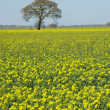 Tree at rapefield — Stock Photo #16214599