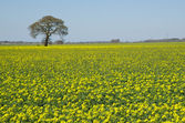 Solitaire tree at rapeseed field — Stock Photo