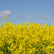Rape seed and sky — Stock Photo