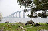 Bridge with sheep — Stock Photo