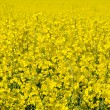 rape blossom — Stock Photo