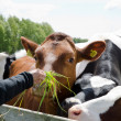 Feeding cows — Stock Photo
