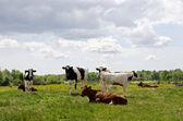 Resting cattle — Stock Photo