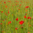 Poppy background — Stock Photo #16972107