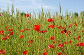 In the poppy field — Stock Photo