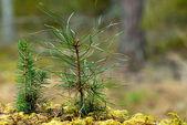 Tree seedlings — Stock Photo