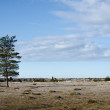 Stock Photo: Lone pine tree