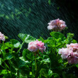 Refreshing geraniums — Stock Photo