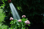 Watering geraniums — Stockfoto