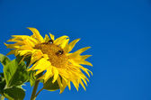 Bumble-bees at sunflower — Stock Photo